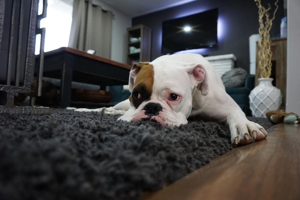 Leniwy pies na dywanie.
